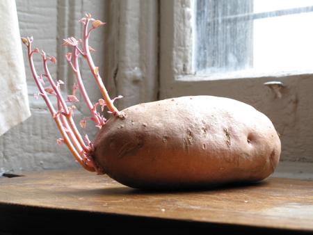 potatowithshoots (11)