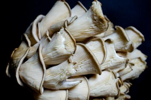 Oyster mushroom_9884