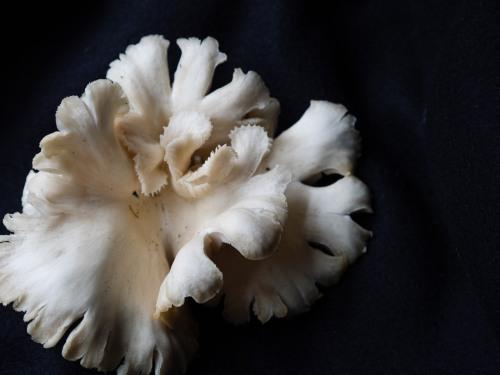 Oyster Mushroom_P6288094
