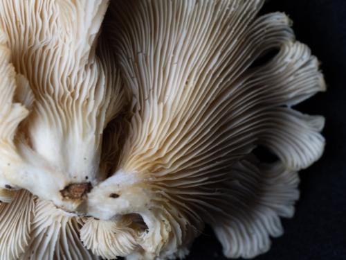Oyster Mushroom_P6288128